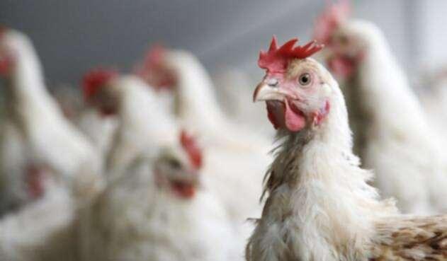 pollos-ingimage.jpg