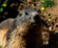 Peste bubónica en personas que comieron carne de marmota en China