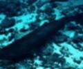 Tiburón dormilón del pacífico