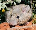 Ratón Gould